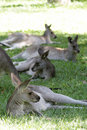Eastern Grey Kangaroos (Macropus giganteus) Royalty Free Stock Photo
