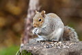 Eastern Grey Squirrel Eating (Sciurus Carolinensis) Royalty Free Stock Photo