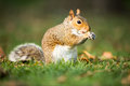 Eastern Grey Squirrel Royalty Free Stock Photo