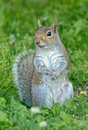 Eastern Grey Squirrel Sciurus carolinensis Royalty Free Stock Photo