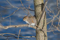 Eastern grey squirrel sitting in the crotch of a tree Stock Images