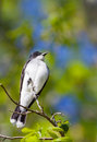 Eastern kingbird tyrannus tyrannus perched on a branch Royalty Free Stock Photo
