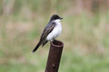 Eastern kingbird tyrannus tyrannus perched on a rusty pipe Stock Image