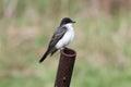 Eastern kingbird tyrannus tyrannus perched on a rusty pipe Stock Image