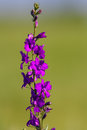 Eastern Larkspur Royalty Free Stock Image