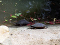 Eastern long-necked turtle Royalty Free Stock Photo