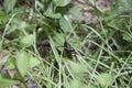 Eastern Lubber Grasshopper Royalty Free Stock Photo