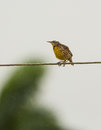 Eastern meadow lark on the wire an sturnella magna perches a under a rain shower in cuba Royalty Free Stock Images