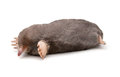 Eastern mole scalopus aquaticus on a white background Royalty Free Stock Image