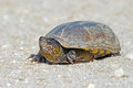 Eastern mud turtle crossing a dirt road Royalty Free Stock Image