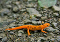 Eastern Newt Royalty Free Stock Photo