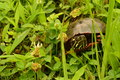 Eastern painted turtle chrysemys picta Royalty Free Stock Photo