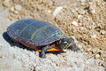 Eastern painted turtle crossing a dirt road Royalty Free Stock Photo