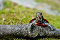 Eastern Painted Turtle Royalty Free Stock Photo