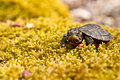 Eastern painted turtle a hatchling on a bed of moss Stock Image