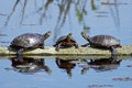 Eastern Painted Turtles On Log