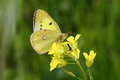 Eastern pale clouded yellow close up picture of a butterfly on rape blossoms in spring Stock Images