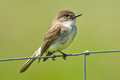 Eastern phoebe perched on a page wire fence Stock Photography