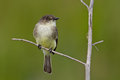 Eastern phoebe sayomis phoebe perched on a small branch against a green background Royalty Free Stock Photo
