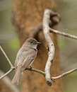 Eastern phoebe sayornis perched on a branch Stock Images