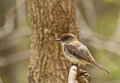 Eastern phoebe sayornis phoebe on a tree branch Royalty Free Stock Photos
