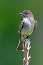 Eastern phoebe standing on a branch Royalty Free Stock Image