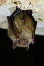 Eastern pipistrelle bat an hangs in a texas cavern Royalty Free Stock Images