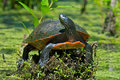Eastern redbellyturtle painted turtle resting on a stump Royalty Free Stock Images