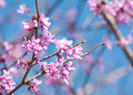 Eastern Redbud flowering Stock Images