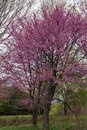 Eastern Redbud Tree in the Spring - Cercis Canadensis Royalty Free Stock Photo