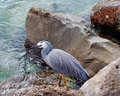 Eastern Reef egret Royalty Free Stock Image