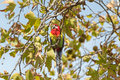 Eastern Rosella bird resting on Sweet Gum tree branch, South Aus Royalty Free Stock Photo
