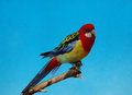The eastern rosella is a brightly coloured broad tailed parakeet native to south australia with bright red heads with Stock Photo