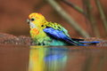 Eastern rosella the at the edge of water area Stock Photos