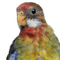 Eastern Rosella, Platycercus eximius Royalty Free Stock Photos