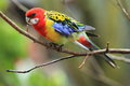 Eastern rosella sitting on the branch Stock Photo