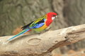 Eastern rosella Royalty Free Stock Photo