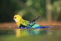 Eastern rosella in water Stock Images