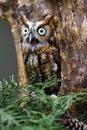 Eastern Screech-Owl Royalty Free Stock Photo