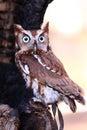 Eastern Screech Owl - Big Eyes Royalty Free Stock Photo