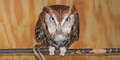 Eastern Screech Owl in Box Perch Royalty Free Stock Photos