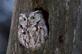 Eastern screech owl in Canada Royalty Free Stock Photo