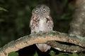 Eastern Screech-Owl Megascops asio Royalty Free Stock Photo