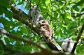 Eastern Screech Owl and Owlets Royalty Free Stock Photo