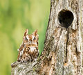 Eastern screech owl perched on a dead tree stump owls are found wherever trees are and they re even willing to Royalty Free Stock Photography