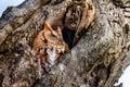 Eastern Screech Owl rufous morph
