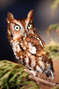 Eastern Screech Owl on a tree branch Stock Image