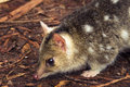 Eastern spotted quoll a small australian marsupial the Stock Image