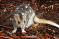 Eastern Spotted Quoll Royalty Free Stock Photo