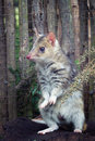 Eastern spotted quoll a small australian marsupial the Royalty Free Stock Photos